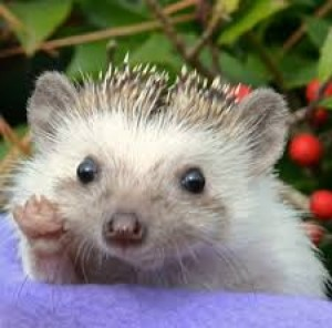 I love hedgehogs! Too cute!